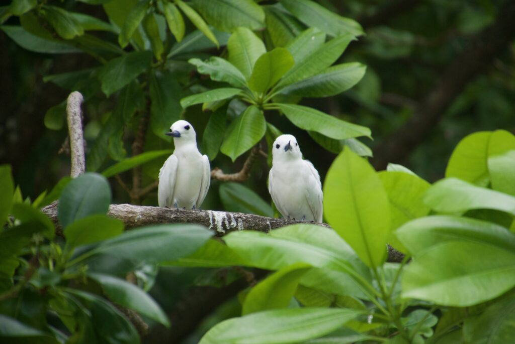 White terns